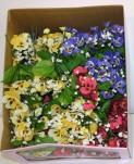 Pansy Gypso Pick (Box Of 96/pcs @ $0.29/each