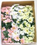 Assorted Daisy Picks (Box Of 120/pcs @ $0.29/each)